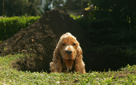 Dog Digging a Hole A cocker spaniel looks out of a large hole  Animal Themes,  Puppy, Cocker Spaniel, cute, Canine, Pure Bred Dog, Domestic Animals, Dog, Animal, Pets, Discovery, Digging, Grass, Searching, Looking, Ground, Hiding, Brown,Hole, Behaviour,Beautiful, bone, ground, dogs,silly, dirt, pets,pet, bury, naughty, garden
